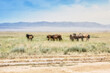 landscape steppe mountains horses grass free wild group brown
