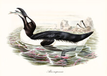 Big Fat Aquatic Bird Called Great Auk (Pinguinus Impennis) Extinct. It Eats A Fish In The Water While Other Exemplars Stand On A Rock Far In Background. Detailed Vintage Art By John Gould In London