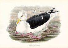 Great Black-Backed Gull (Larus Marinus) Sea Bird Floating On Water Under Cloudy Sky. Detailed Vintage Style Watercolor Art By John Gould Publ In London 1862-1873