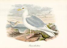Iceland Gull (Larus Glaucoides) Webbed Pawed Bird Profile Posing On Rock And Sea On Background. Detailed Vintage Watercolor Style Art By John Gould London 1862-1873
