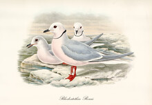 Ross's Gull (Rhodostethia Rosea) Bird With Bright Red Webbed Paw On Floating Ice On Artic Sea. Detailed Vintage Style Watercolor Art By John Gould In London 1862-1873