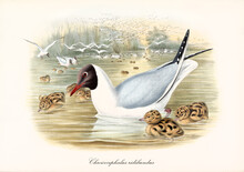 Flock And Single Black-Headed Gull (Chroicocephalus Ridibundus) Floating On Pond Water With Cubs. Detailed Vintage Style Watercolor Art By John Gould London 1862-1873