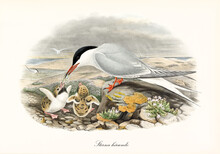 Common Tern (Sterna Hirundo) Bird Feeds Cubs With Little Fish On Seascape. Detailed Vintage Style Watercolor Art By John Gould London 1862-1873