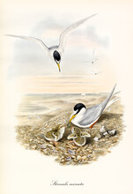 Couple Of Little Tern (Sternula Albifrons) Birds Feeding Their Cubs On A Vertically Oriented Seascape. Detailed Vintage Style Watercolor Art By John Gould London 1862-1873