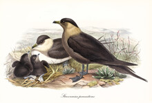 Family Of Parasitic Jaeger (Stercorarius Parasiticus) Birds Nesting On Ground And Looking Around. Parents And Cubs. Detailed Vintage Style Watercolor Art By John Gould London 1862-1873