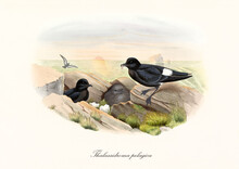 Couple Of European Storm Petrel (Hydrobates Pelagicus) Birds And Cub Feeding In A Nest Hidden Among Rocks. Sea Sunset On Background. Detailed Vintage Style Watercolor By John Gould London 1862-1873