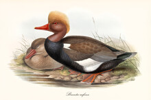 Aquatic Webbed Pawed Bird With An Orange Crest, Profile Posing To Left On A Shore Of A Pond Or A Creek. Red-Crested Pochard (Netta Rufina). Detailed Vintage Art By John Gould Publ. In London 1862-1873