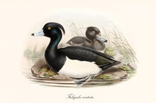 Aquatic Black And White Plumaged Bird Tufted Duck (Aythya Fuligula) Posing In Profile View To The Left With A Webbed Paw Partial Immersed In The Water. Vintage Art By John Gould London 1862-1873