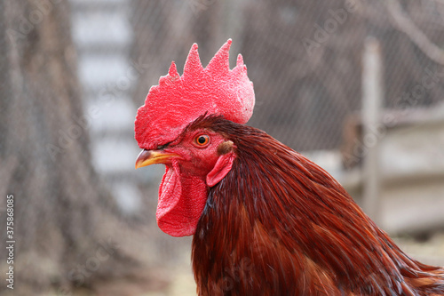 Valokuvatapetti Rooster close up, poultry farm concept