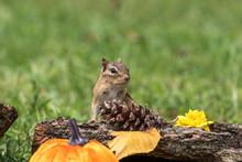 Eastern Chipmunk, Tamias Striatus, Posed With Rustic Fall Decor Leaves Pumpkins Acorns For Autumn