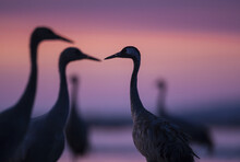 Common Cranes In Autumn Roosti...