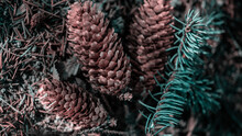 Dry Pine Cones, Close View