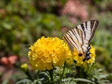 Scarce Swallowtail In Ukraine
