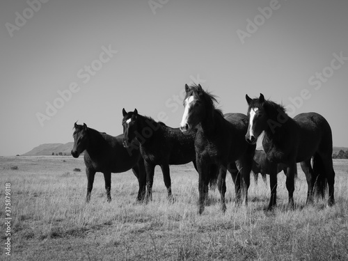 Obraz na plátne herd of horses in black and white