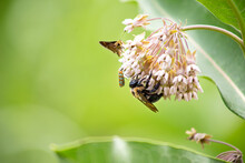 Pollinators On Native Milkweed...