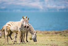 Young Zebras In Naivasha