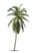 canvas print picture - Coconut palm tree isolated on white background.