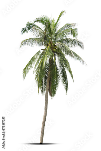 Coconut palm tree isolated on white background. Fototapeta