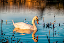 Swan On The Water At Sunset