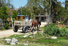 Cuban Horse In A Sled. Working...
