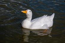 White Pekin Duck, Also Known A...