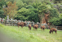 CANTABRIA, SANTANDER, SPAIN - AUGUST 19, 2020:, Group Of European Bison Eating Green Grass In Cabarceno Natural Park With Visitors