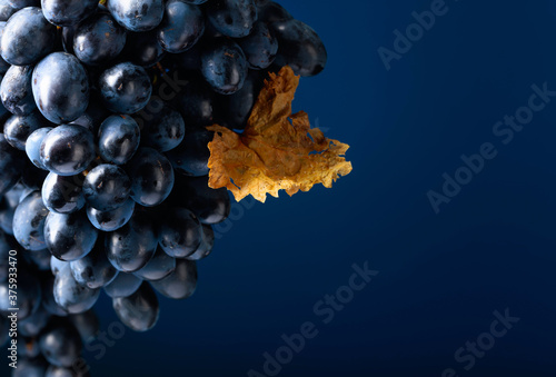 Obraz na płótnie Dark blue grapes on a blue background.