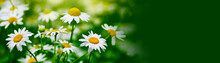 White Camomile Flower On Blur ...