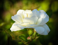 Delicat White Rose Bloom And Bud.