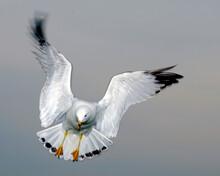 Gull Bird Stock Photo.   Gull ...