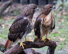 Hawk Stock Photo.  Image. Portrait. Picture. Couple. Love Birds. Hawk Birds Perched On Branch With Blur Background.  Hawk Birds Close-up Profile.