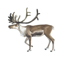 Watercolor Standing Reindeer O...