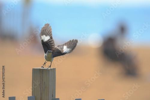 Fotografia mockingbird at the beach takes flight