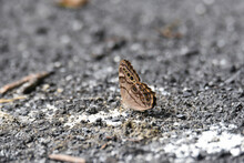 Hackberry Emperor Butterfly On...