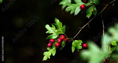 Canvas Print HAWTHORNE BERRIES - BIG TIME RED