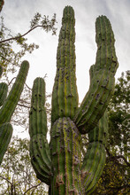 Baja California Sur, Mexico - November 23, 2008: Dry Forests Of Sierra De La Laguna. Giant Elephant Cactus Against Silver Sky With Green Vegetation Around.