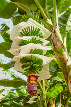 Tree With Growing Bananas