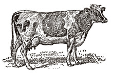 Guernsey Cow In Side View Standing On A Meadow, After An Antique Illustration From The 19th Century