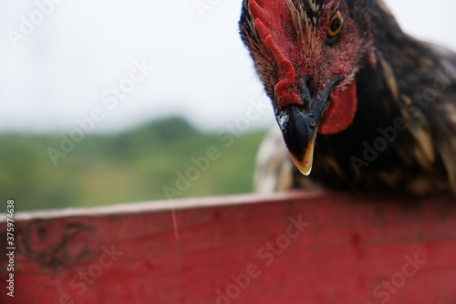 Photo Head of a brown hen cock, closeup, looking for food in the farm yard