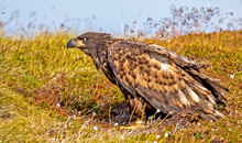 A Young White Tailed Eagle Sit...