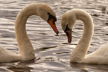 Swans' Love For Their Partners...