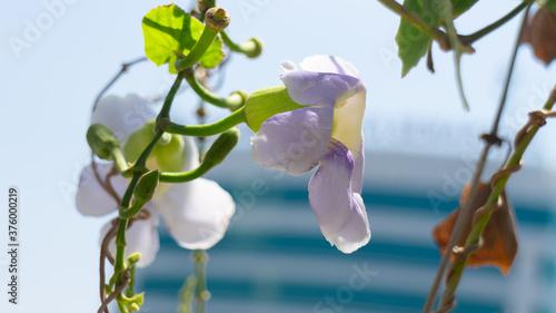 Fototapeta Phalaenopsis amabilis white color, Bunga Anggrek Bulan named in Indonesia, locat