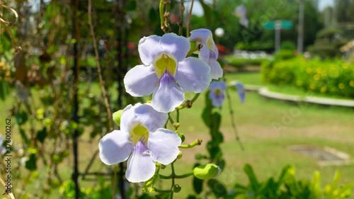 Obraz na plátně Phalaenopsis amabilis white color, Bunga Anggrek Bulan named in Indonesia, locat
