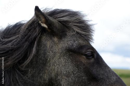 Icelandic black and grey horse close up Wallpaper Mural