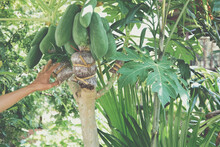 Grafting Papaya Fruit Tree.