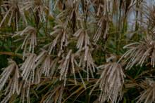 Maiden Grass Miscanthus Close Up