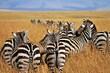zebras in the serengeti