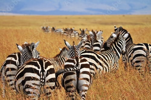 Fototapeta zebras in the serengeti