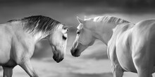 Couple White Horse With Long M...