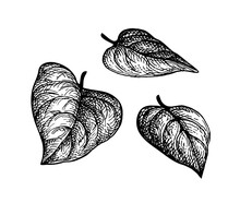 Ink Sketch Of Heart Shaped Leaves.
